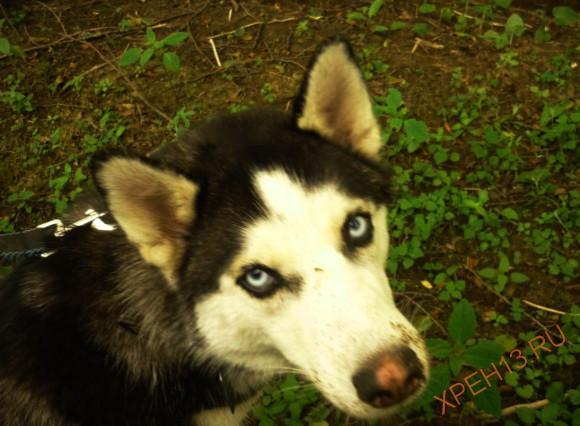Хася - эта голубоглазая собака путешествовала в одной из машин.