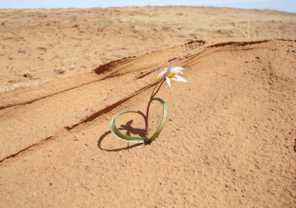 И тюльпаны! Что вселяет в нас надежду на цветущие касмыкские поля.