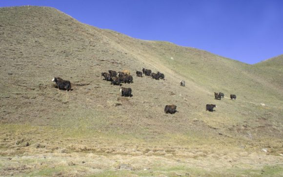 А еще нам встретились яки. Эти животные, безусловно напоминающие внешне быков, обладают совсем не коровим характером!