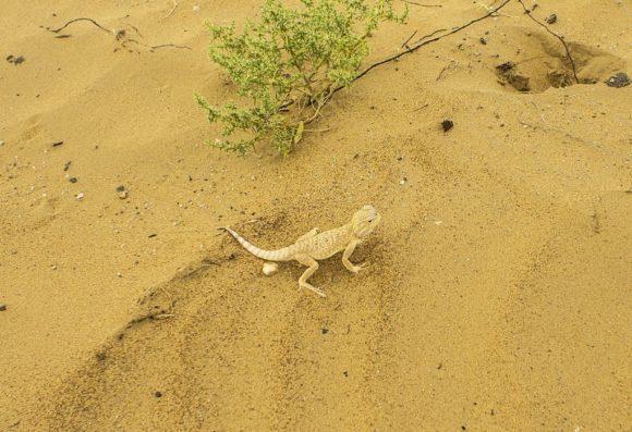 Хотя почему заунывные? В них водятся вот такие гекконы-круглоголовки.