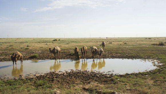 Уже знакомый нам Казахстан, начался все с тех же верблюдов.