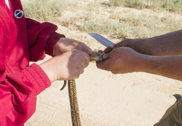 Неожиданно для всех Олег решил поохотиться - замешкавшаяся змея не успела увернуться от Патриота. Что делать с убиенной? Оказалось, что мы все давно хотели попробовать змеятину!