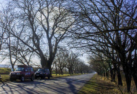 Вдруг дорогу окружают огромные деревья. Думаю, что это - вязы.