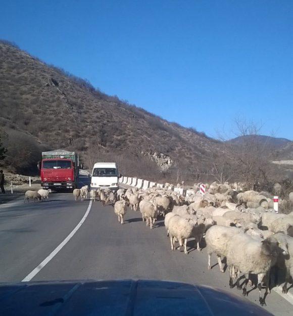 Через некоторое время дорога все-таки становится нормальной. Правда возникает новая проблема - пробки из баранов. Памятуя Памир