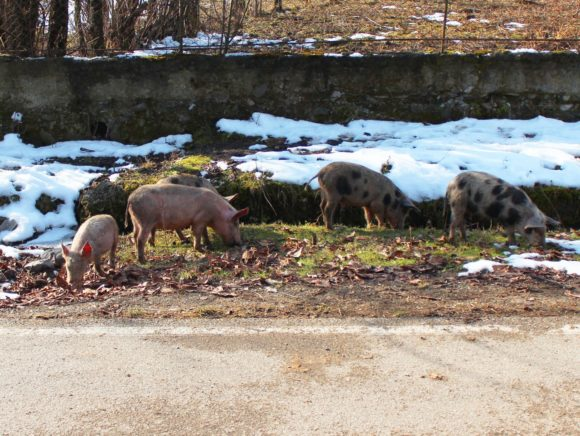 В деревнях гуляет множество свиней, у большинства прикольный окрас - в яблоко.