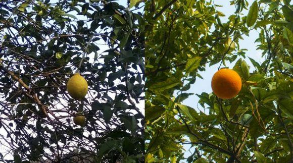 Прямо над головой висели апельсины и лимоны.