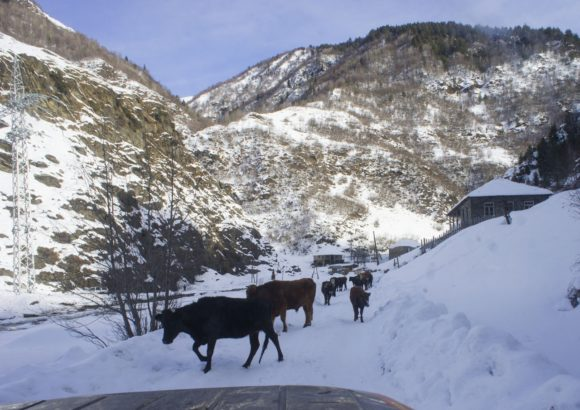 Да еще дорогу часто перекрывают коровы. Здесь они невероятно вальяжны и тупы. Продираться через такое стадо настоящее мученье: мы с колеи съехать не можем, а коровы в сугроб уходить не хотят.